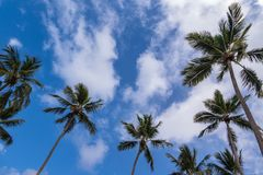 Multiple palm trees against a blue sunny sky with wispy cloud background. A background of several palm trees Arecaceae in the Caribbean around the edge of a stock photography