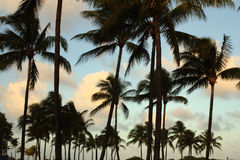Multiple palm trees and clouds and sky Stock Image