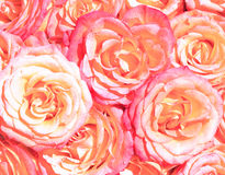 Multiple pink roses Royalty Free Stock Photography