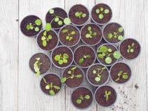 Multiple propagated pancake plant cuttings in black plastic pots stock photo
