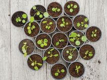 Multiple propagated pancake plant cuttings in black plastic pots stock image