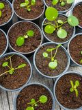 Multiple propagated pancake plant cuttings in black plastic pots royalty free stock photography