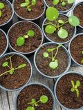 Multiple propagated pancake plant cuttings in black plastic pots royalty free stock image