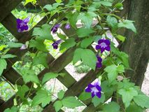 Multiple purple blooms on a Chickabiddy vine. Many purple blooms of a trailing snapdragon, or Chickabiddy, vine against a wooden lattice in the garden stock photos