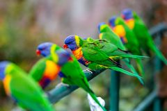 Multiple Rainbow lorikeets sitting on a fence with a green background in lithgow new south wales australia on 15th June 2018. Rainbow lorikeets sitting on a stock photos