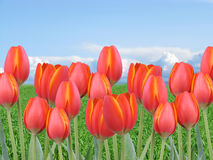 Multiple red orange tulips in a field with green grass and blue sky. Many red orange tulips in a field with green grass and blue sky Stock Image