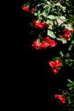 Multiple red roses on black background. In the corner. Copyspace. Focus on upper-middle flowers Royalty Free Stock Photos