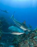 Multiple Reef Sharks On Reef royalty free stock photos