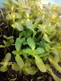 Multiple seedling of sunflower Royalty Free Stock Images