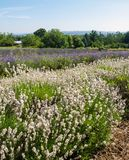 Field of lavender in bloom Royalty Free Stock Photo