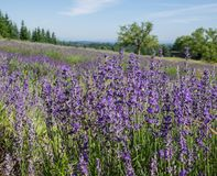 Field of lavender in bloom Royalty Free Stock Image