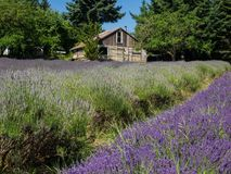 Field of lavender in bloom Royalty Free Stock Photos