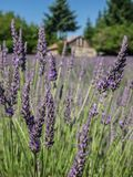 Field of lavender in bloom Royalty Free Stock Photography