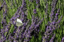 Field of lavender in bloom Royalty Free Stock Images