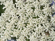 Multiple small cute white flowers Stock Images