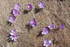 Multiple Spring Crocuses in a meadow. Multiple Spring Crocuses in greass of a spring day royalty free stock photo