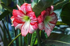 Multiple stripy pink white hippeastrum amaryllis flowers with red stripes on petals in nature garden background Star Lily Amaryl stock photo