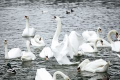 Swans Playing in water royalty free stock images