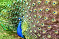 The multiple tail feathers` eyes of apeacock stock photo