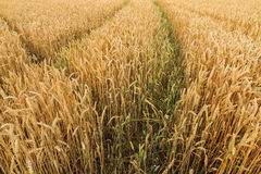 Multiple tracks grain field Royalty Free Stock Photography