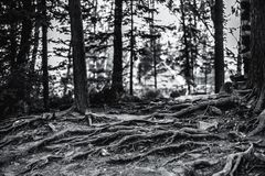 Multiple tree roots, greyscale image. Black and white view of dramatical tree roots of pine trees stretching over the cliffy ground in summer forest of Altai Royalty Free Stock Images