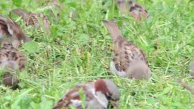 Multiple tree sparrows hopping in a grass on the field land. Sparrows are feeding on seeds of grass on the land stock video footage