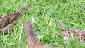 Multiple tree sparrows hopping in a grass on the field land. Sparrows are feeding on seeds of grass on the land stock video