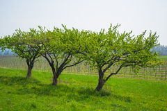 Multiple trees overlooking a vineyard on a clear day Royalty Free Stock Photo