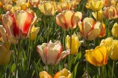 Multiple Tulips Stock Photo