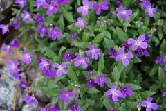 Macro image of violet flowers on green leaves background stock photos