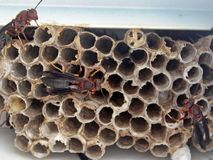Multiple wasps building a hive underneath eaves of a house. A hive of wasps building a nest under the eaves of a house royalty free stock photo