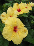 Multiple Yellow Hibiscus Growing in Hawaii Stock Photos