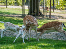 Multiple young deer drinking Stock Photo