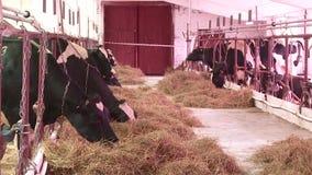 Multiplication des vaches et des taureaux à la ferme banque de vidéos