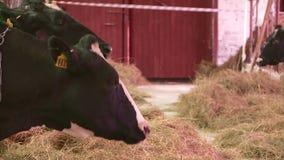 Multiplication des vaches et des taureaux à la ferme clips vidéos
