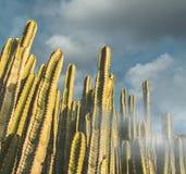 Multipliez le cactus au coucher du soleil dans un jour nuageux image stock