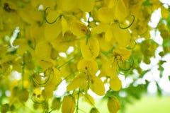 Multipliez-vous ou de Ratchaphruek en fleur de la Thaïlande des fleurs habituellement en Th photo libre de droits