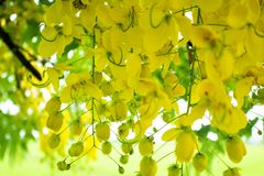 Multipliez-vous ou de Ratchaphruek en fleur de la Thaïlande des fleurs habituellement en Th image libre de droits