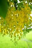 Multiplizieren Sie oder Ratchaphruek-Blumen u. x28; Dok Koon& x29; in Thailand normalerweise lizenzfreies stockfoto