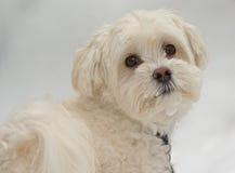 Multipoo hund i snö royaltyfri bild