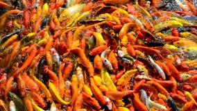 Multitud colorida hambrienta apretada ocupada de los pescados de Koi o de la carpa de la suposición para la comida almacen de metraje de vídeo