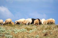 Multitud con las ovejas que pastan, Grecia Foto de archivo libre de regalías