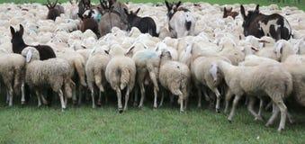 multitud con muchas ovejas y burros Imágenes de archivo libres de regalías