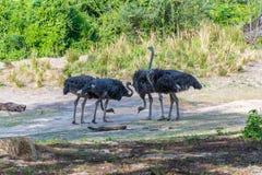 Multitud de avestruces Imágenes de archivo libres de regalías