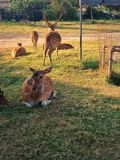 Multitud de ciervos imagen de archivo libre de regalías