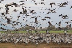 Multitud de cigüeñas Fotos de archivo