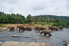 Multitud de elefantes en el río Fotografía de archivo