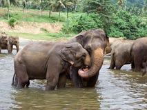 Multitud de elefantes en el río Fotografía de archivo libre de regalías