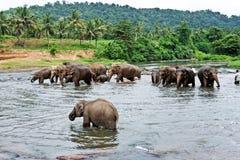 Multitud de elefantes en el río Imagen de archivo libre de regalías