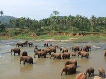 Multitud de elefantes en el río de Maha Oya Imagen de archivo libre de regalías